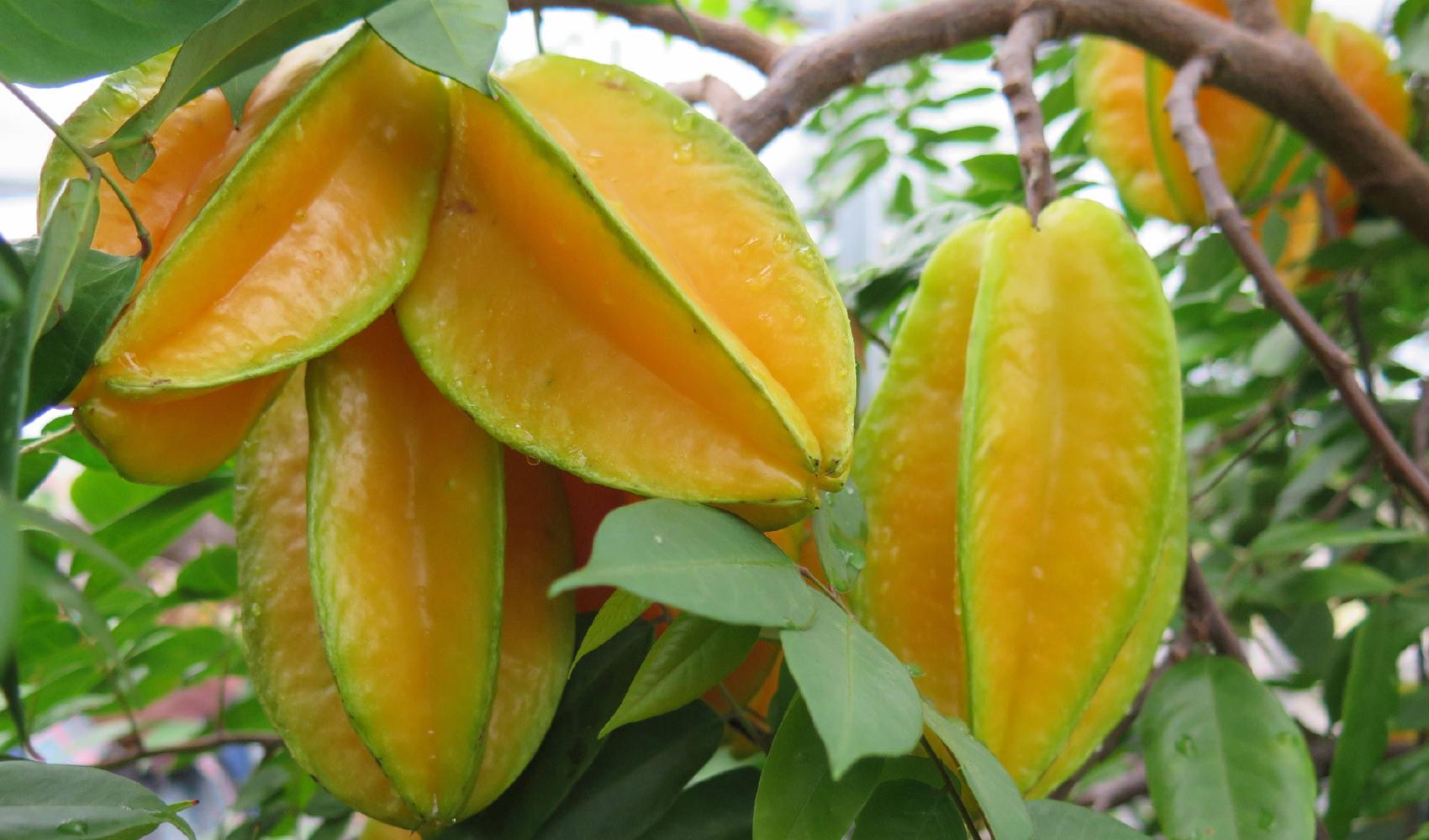 A Fruta Carambola Serve Para Que the fruits of our labor  820 days of pura vida